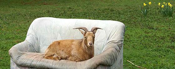 Geißbock auf Sofa das auf einer Wiese steht