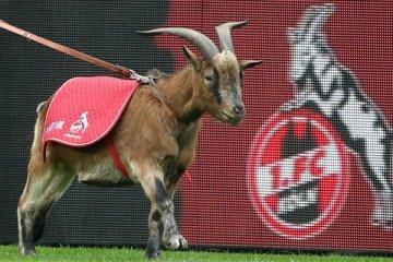 Geißbock Hennes - 1. FC Köln